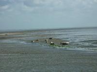 zeehonden-op-het-wad