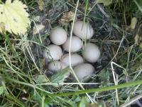 nest met eenendeieren