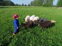 bij de schapen