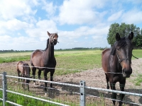 paarden van de buren